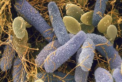 Уксуснокислые бактерии